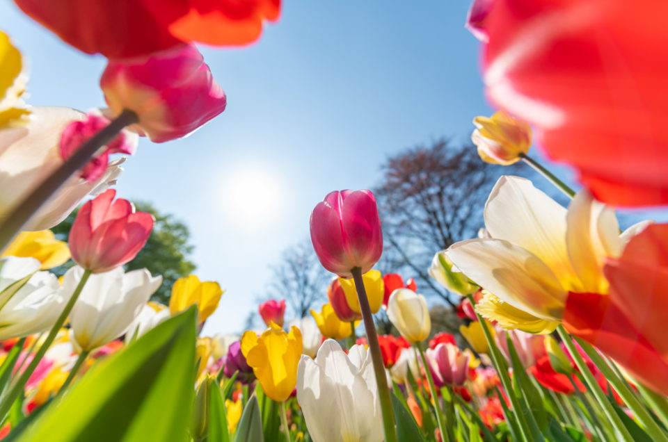 Multicolored tulips against sun and blue sky in Keukenhof gardens, Lisse, Netherlands