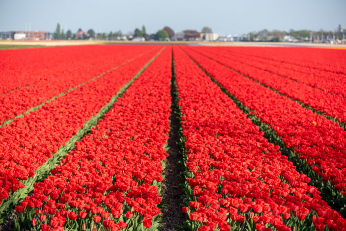 Red tulip field in Lisse, Netherlands