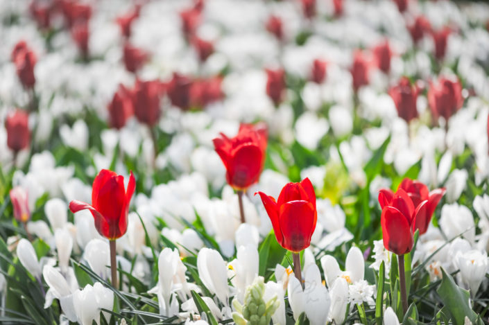 Red tulips among white flowers in Keukenhof gardens, Lisse, Netherlands