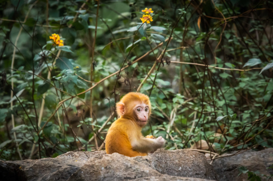 Rhesus Macaque cub on a rock in QiXing park, Guilin, Guangxi province, China