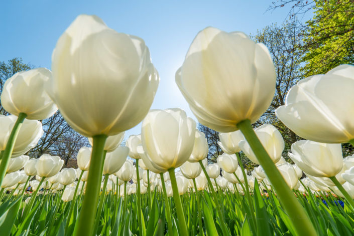 White tulips against sun and blue sky in Keukenhof gardens, Lisse, Netherlands