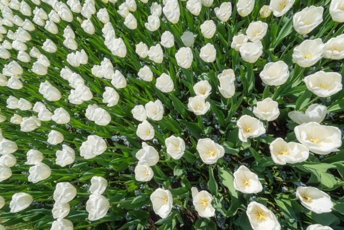White tulips field high angle view in Keukenhof gardens, Lisse, Netherlands