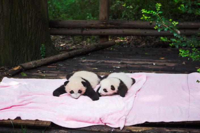2 giant panda babies lying on a rose blanket - Chengdu, Sichuan Province, China