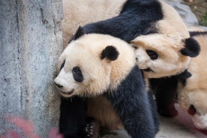 3 giant panda cubs playing in Chengdu, Sichuan province, China