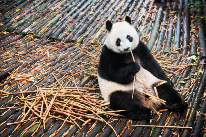 Giant Panda eating bamboo on wood in Chengdu, Sichuan Province, China