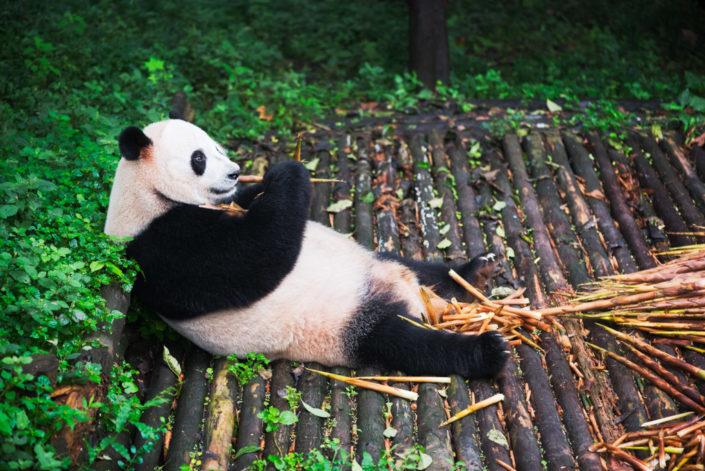 Giant Panda eating bamboo lying down on wood in Chengdu, Sichuan Province, China