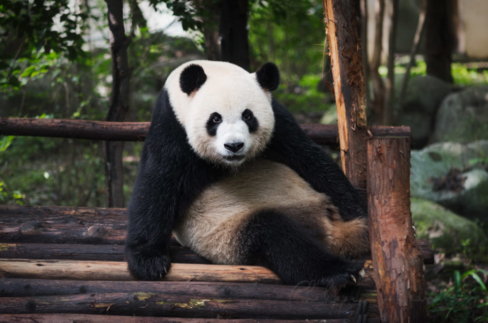Giant Panda on wood Chengdu, Sichuan Province, Chengdu