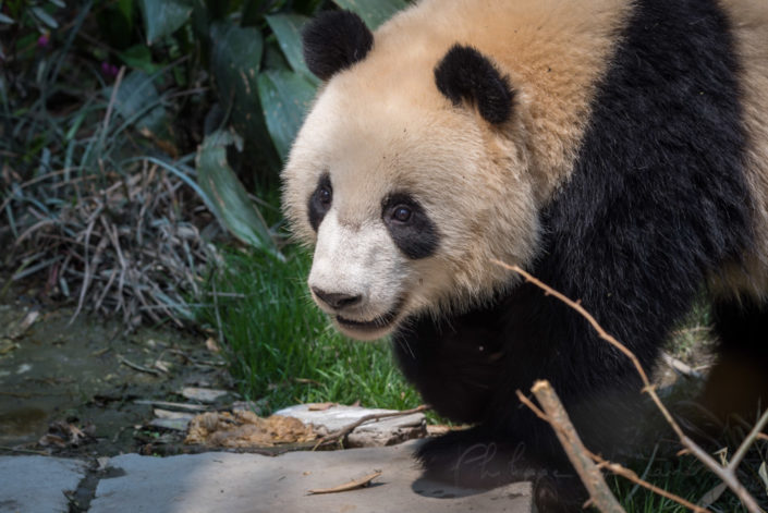 Giant panda close-up view in Chengdu, Sichuan province, China