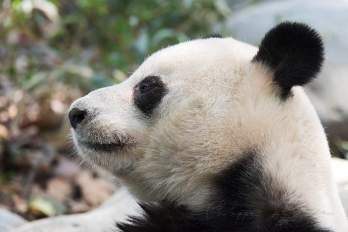 Giant panda head shot in profile, Chengdu, China