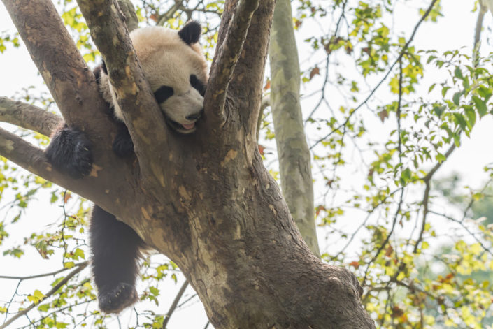Giant panda playing in a tree, Chengdu, China