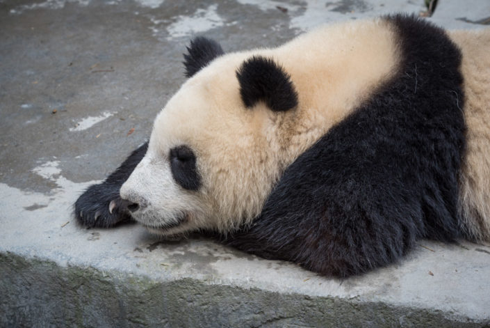 Giant panda resting on a rock in Chengdu, Sichuan province, China