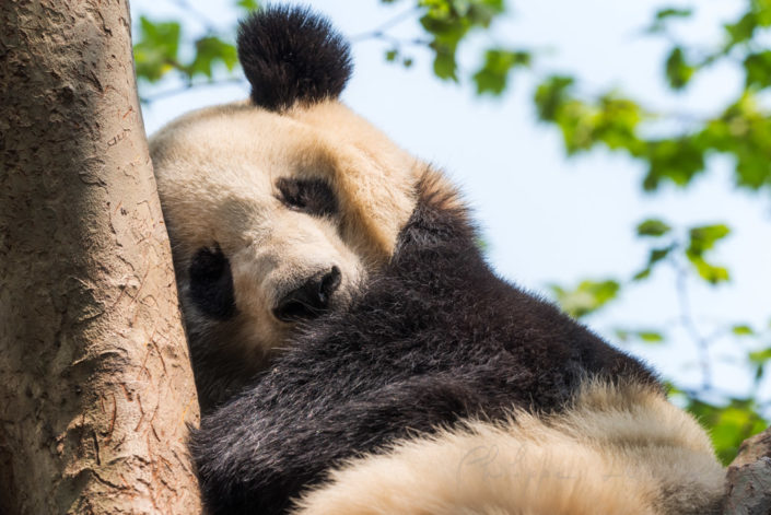 Giant panda sleeping in a tree, Chengdu, China