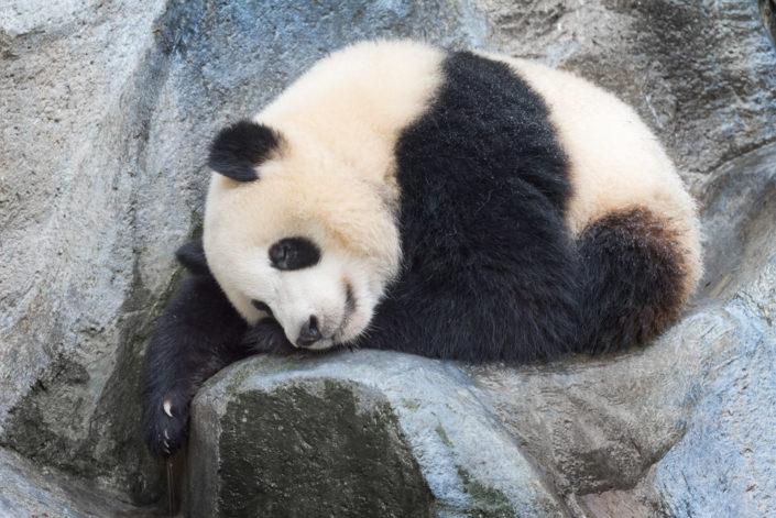Giant panda sleeping on a rock, Chengdu, China