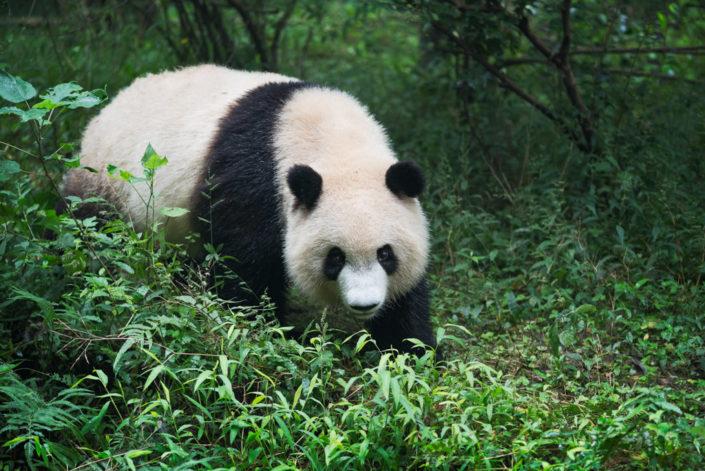 Giant panda walking in the woods - Chengdu, Sichuan Province, China