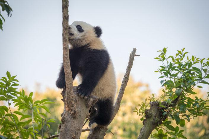 Panda cub climbing in a tree, Chengdu, China