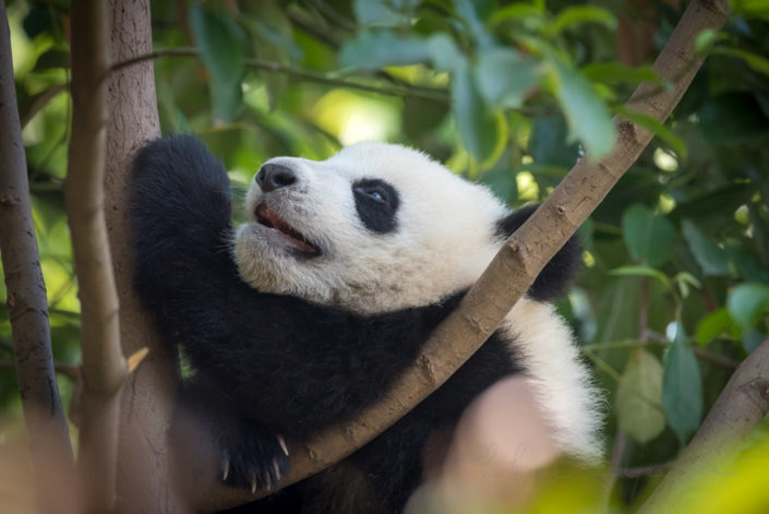Panda cub climbing in a tree in Chengdu, Sichuan province, China