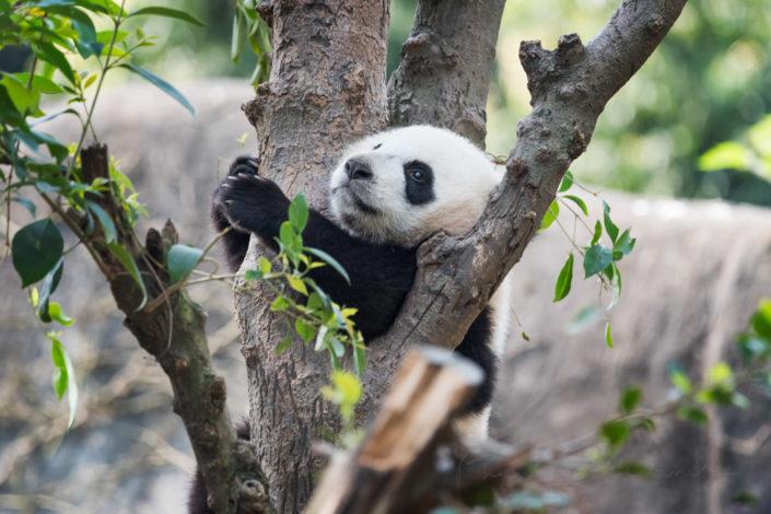 Panda cub hanging in a tree, Chengdu, China