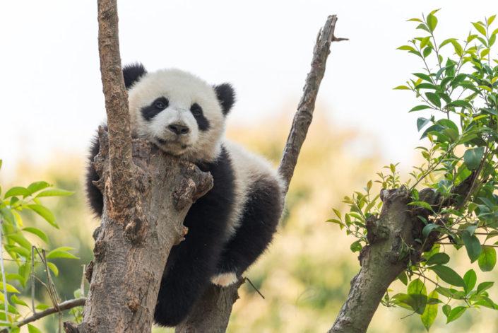 Panda cub in a tree, Chengdu, China