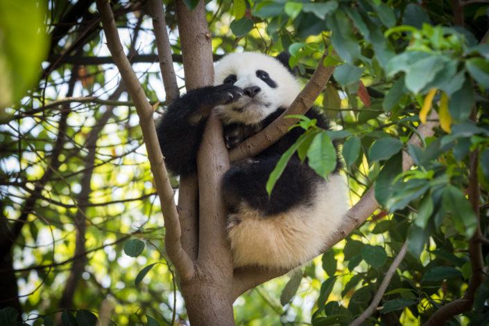 Panda cub sitting in a tree in Chengdu, Sichuan province, China