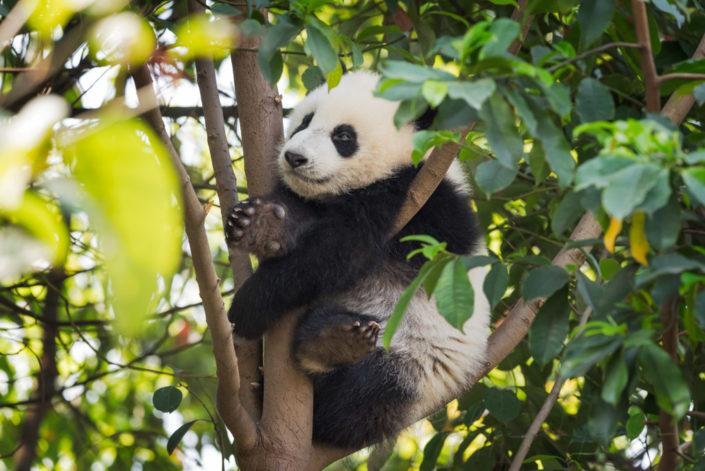 Panda cub sitting in a tree, Chengdu, China