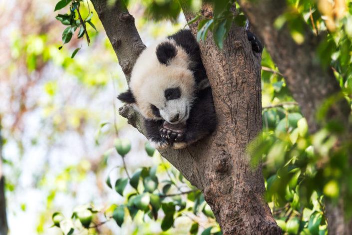 Panda cub sleeping in a tree , Chengdu, China