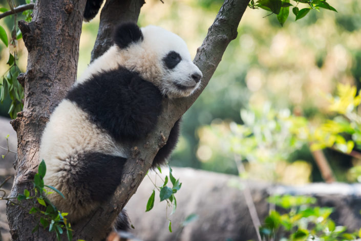 Panda cup sleeping in a tree, Chengdu, China