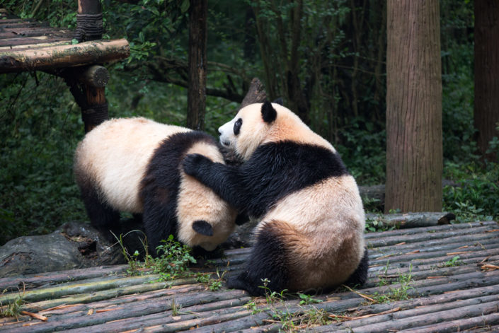 Two young giant pandas playing together, Chengdu, Sichuan Province, China