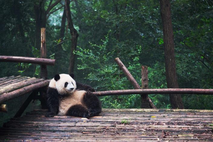 Young giant Panda sitting in a corner - Chengdu, Sichuan Province, China