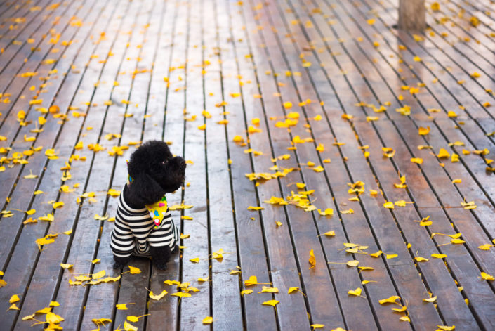 Black poodle dog on a wooden ground with yellow leaves