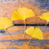 Ginkgo yellow leaves on wood in autumn
