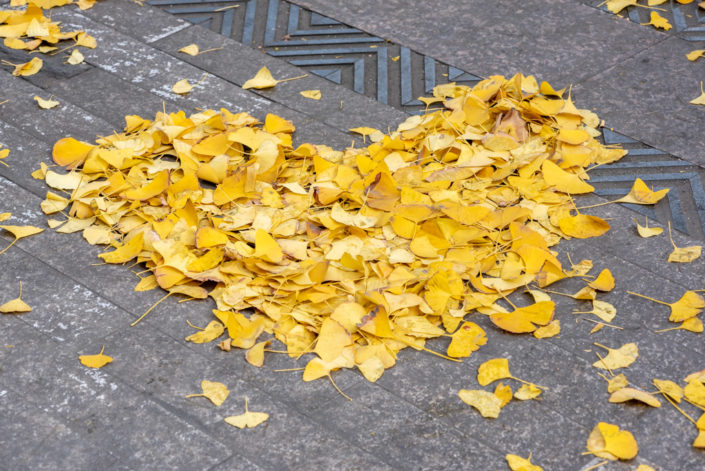 Heart shape made of yellow ginkgo leaves in the street in autumn in Chengdu, Sichuan province, China