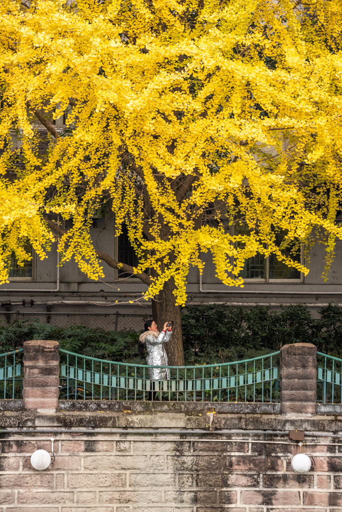 Young woman taking photos of yellow leaves on ginkgo trees with her smartphone by Jinjiang river in Jinli ZhongLu street in Autumn, Chengdu, Sichuan province, China