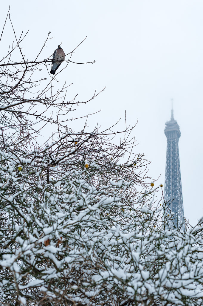 Pigeon on a tree under the snow with the Eiffel tower in the background, Paris, France